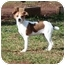 Photo 2 - Chihuahua/Jack Russell Terrier Mix Puppy for adoption in Portland, Maine - Yahtzee