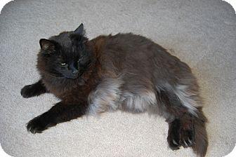 Domestic Mediumhair Cat for adoption in Laguna Woods, California - Shadow