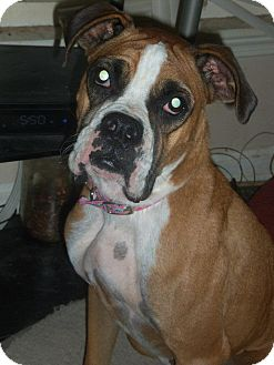 Boxer Mix Dog for adoption in Conway, New Hampshire - Ally