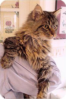 Maine Coon Cat for adoption in Davis, California - James