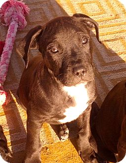 Labrador Retriever Mix Puppy for adoption in Phoenix, Arizona - Atlas