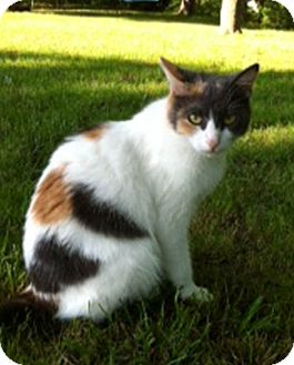 Domestic Shorthair Cat for adoption in Bentonville, Arkansas - Miss Patches