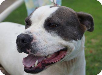 American Pit Bull Terrier Dog for adoption in Newark, Delaware - Darby Dee