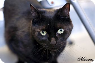 Domestic Shorthair Cat for adoption in Manahawkin, New Jersey - Murray