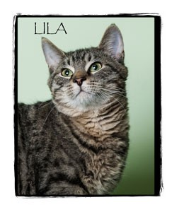 Domestic Shorthair Kitten for adoption in Warren, Pennsylvania - Lila