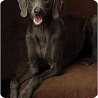 Adopt A Pet :: STORMY - Las Vegas, NV