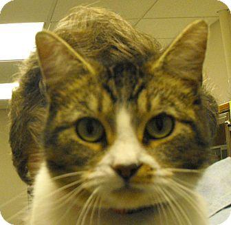 Domestic Shorthair Cat for adoption in Farmington, New Mexico - Lyn