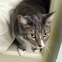 Domestic Shorthair Cat for adoption in Palm City, Florida - Pinky
