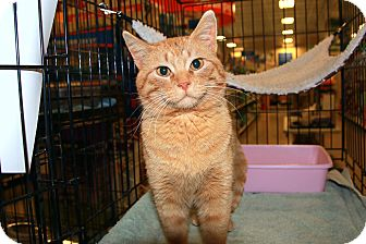 Domestic Shorthair Cat for adoption in Rochester, Minnesota - Scout