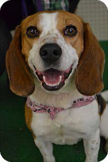 Beagle Dog for adoption in Toledo, Ohio - Shelby