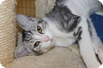 Domestic Shorthair Kitten for adoption in Seville, Ohio - Scarlette