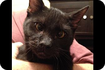 Domestic Shorthair Cat for adoption in Pittstown, New Jersey - Pierre