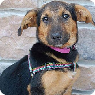 Corgi/Shepherd (Unknown Type) Mix Puppy for adoption in Minneapolis, Minnesota - Sparrow