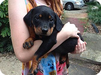 Rottweiler/Schnauzer (Standard) Mix Puppy for adoption in Olive Branch, Mississippi - Rachel-ADOPTED