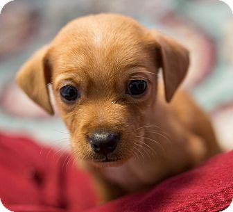 Whippet Mix Puppy for adoption in Seneca, South Carolina - Orzo - $250