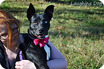 Pit Bull Terrier/Labrador Retriever Mix Dog for adoption in Stillwater, Oklahoma - Skye