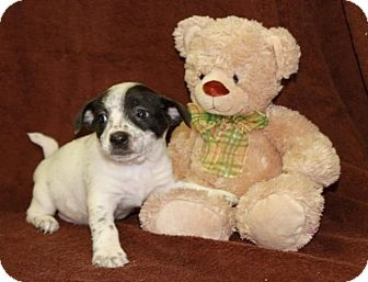 Dachshund/Cattle Dog Mix Puppy for adoption in Newark, New Jersey - Coat Closet