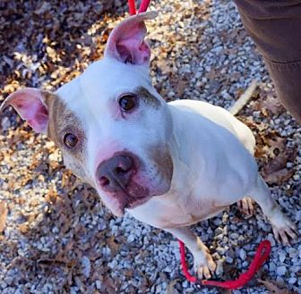 American Pit Bull Terrier Mix Dog for adoption in Frenchburg, Kentucky - Andy