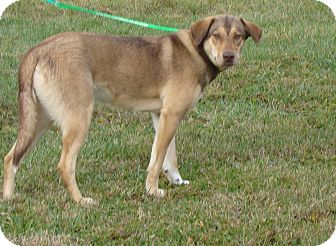 German Shepherd Dog Mix Dog for adoption in Cameron, Missouri - POPPY