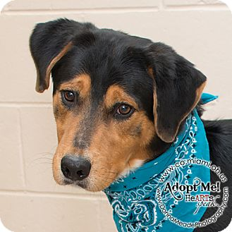 Rottweiler Mix Dog for adoption in Troy, Ohio - Pluto