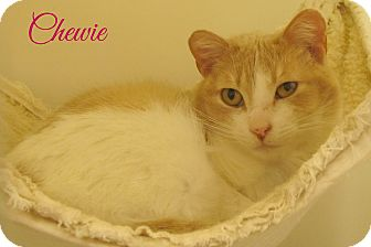 Domestic Shorthair Cat for adoption in Menomonie, Wisconsin - Chewie