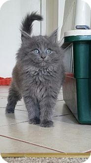Domestic Longhair Kitten for adoption in Morristown, New Jersey - Grizzly