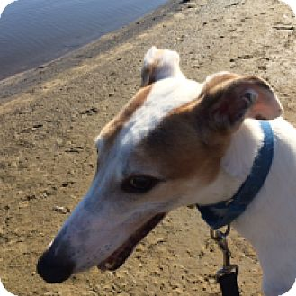 Greyhound Dog for adoption in Gerrardstown, West Virginia - Ricos Green Go