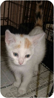 Domestic Shorthair Kitten for adoption in Honesdale, Pennsylvania - Coconut