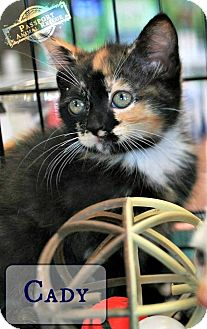 Domestic Shorthair Kitten for adoption in Nottingham, Maryland - Cady