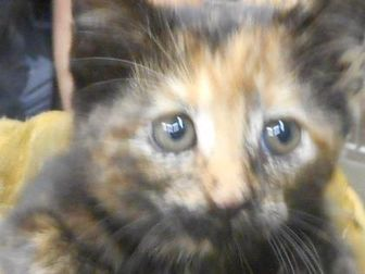 Domestic Shorthair/Domestic Shorthair Mix Cat for adoption in Opelousas, Louisiana - lilith