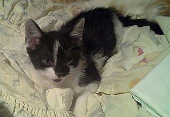 Domestic Shorthair Kitten for adoption in Whitney, Texas - Paladin
