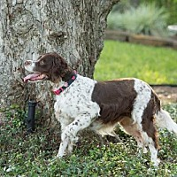 Adopt A Pet :: TX/Lilly - Oklahoma, OK
