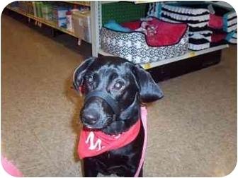 Beagle/Labrador Retriever Mix Puppy for adoption in LaCrosse, Wisconsin - Iyoko