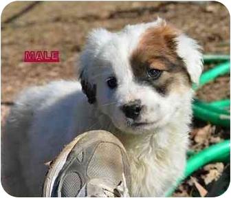 St. Bernard/Australian Shepherd Mix Puppy for adoption in Stafford Springs, Connecticut - Barley