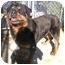 Photo 1 - Rottweiler Dog for adoption in Oswego, Illinois - GUS
