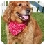 Photo 1 - Golden Retriever Mix Dog for adoption in Palatine, Illinois - RUSTY
