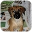 Photo 1 - Shepherd (Unknown Type) Mix Puppy for adoption in Bel Air, Maryland - Dixon