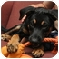 Photo 2 - German Shepherd Dog/Rottweiler Mix Puppy for adoption in Sparta, New Jersey - Ally