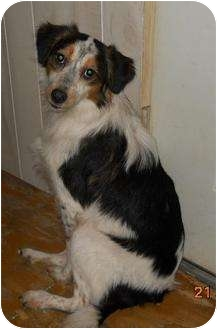 Beagle/Collie Mix Dog for adoption in berwick, Maine - Chariss
