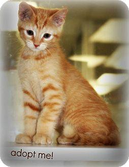 Domestic Shorthair Kitten for adoption in mishawaka, Indiana - Neiman - PAWMART