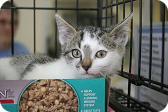 Domestic Shorthair Kitten for adoption in East Brunswick, New Jersey - Duffy