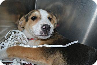 Shepherd (Unknown Type)/Rottweiler Mix Puppy for adoption in Edwardsville, Illinois - Almond