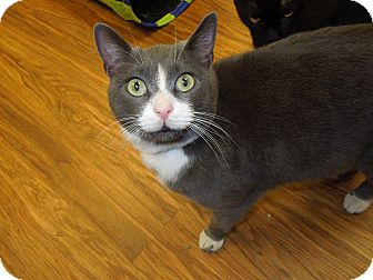 Domestic Shorthair Cat for adoption in Medina, Ohio - Smoke