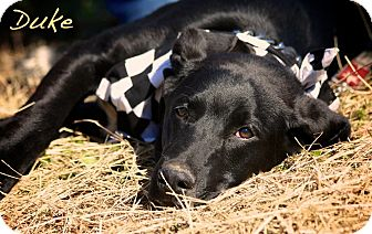 Labrador Retriever/Hound (Unknown Type) Mix Dog for adoption in Wilmington, Delaware - DUKE