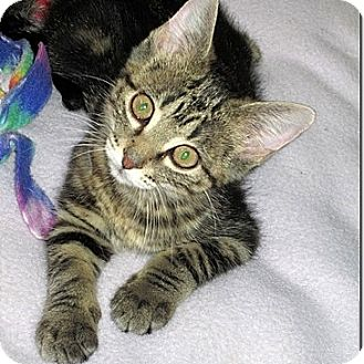 Domestic Shorthair Kitten for adoption in Columbia, Illinois - Seth