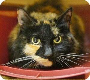 Calico Cat for adoption in Medford, Massachusetts - MamaSox