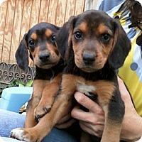 Adopt A Pet :: Jubilee - Dallas, TX