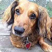 Adopt A Pet :: Carter - Killingworth, CT