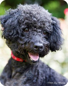 Poodle (Miniature) Dog for adoption in Charlotte, North Carolina - Cody