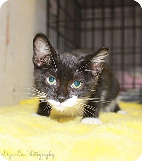 Domestic Shorthair Kitten for adoption in Seymour, Connecticut - BABY JACKIE